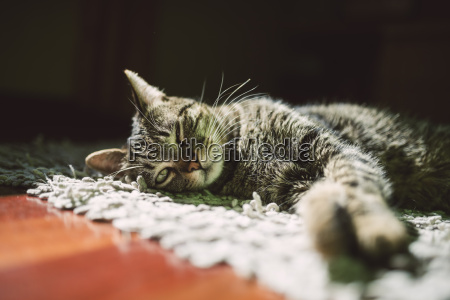 portrait of tabby cat relaxing on