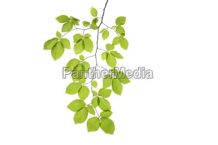 branch of beech tree european beech