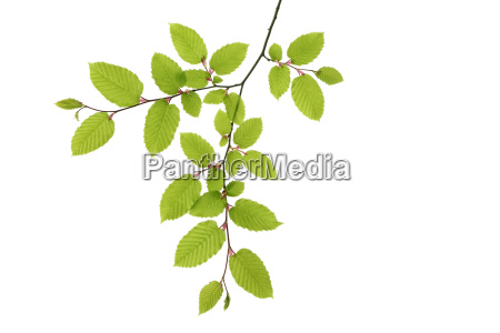 branch of european hornbeam carpinus betulus