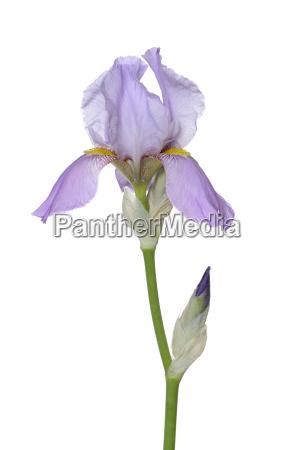 blume pflanze gewaechs lila knospe fotografie