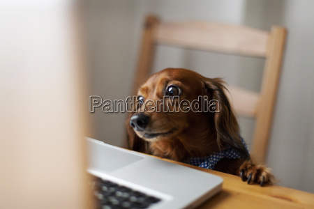 long haired dachshund looking at laptop