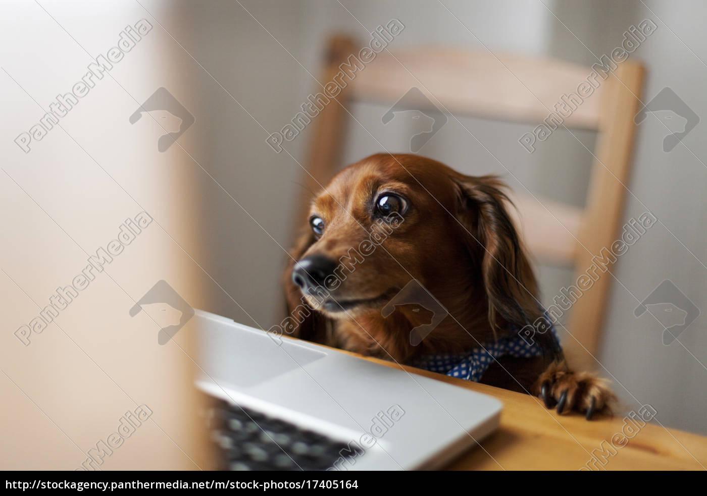langhaardackel, auf, der, suche, laptop - 17405164