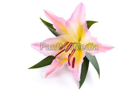 rosa lilie blume