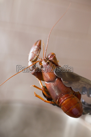 close up of yabby held in
