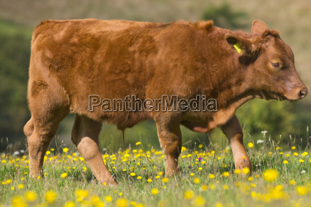 devon cow in rural field
