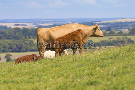 devon calf suckling from mother in