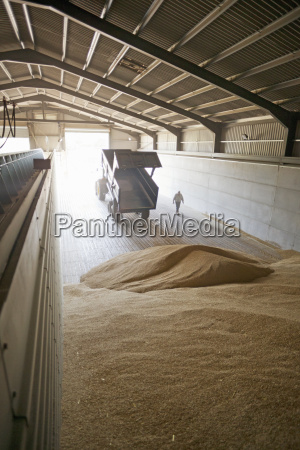 tractor and trailer emptying wheat into