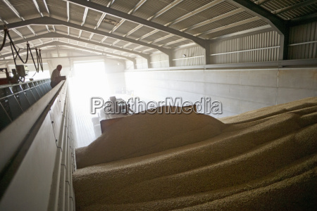 digger piling wheat in grain store