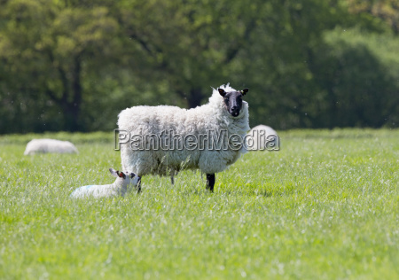 portrait of sheep and lamb in