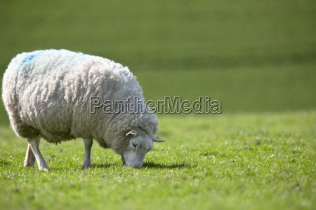 sheep grazing in sunny green summer