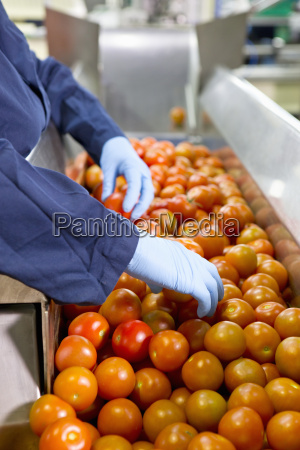 quality control worker sorting ripe red