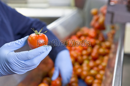 close up worker holding ripe red