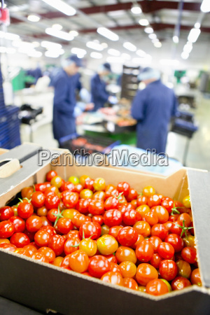 ripe red vine tomatoes packed in