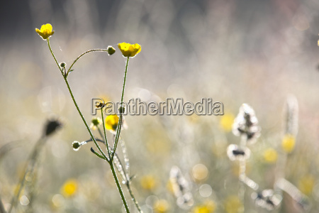 close up yellow buttercup wildflower