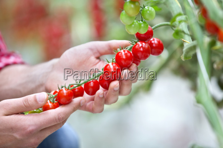 close up grower inspecting ripe red