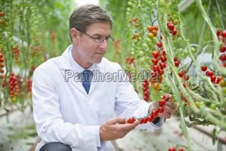 food scientist examining ripe red vine