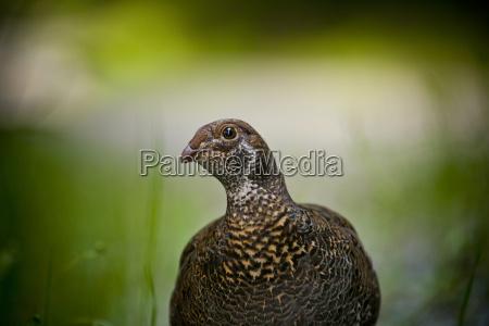 eine weibliche fichte grouse