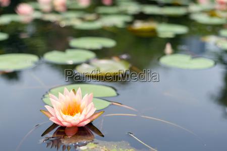 lotus, blütenpflanzen - 17723750