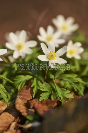 close up of wood anemone anemone