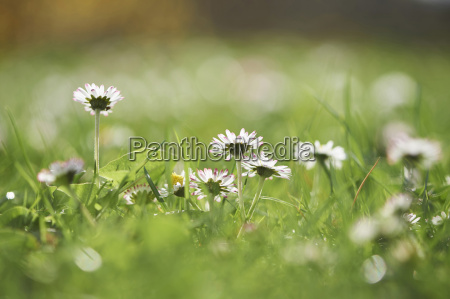close up of a common daisy