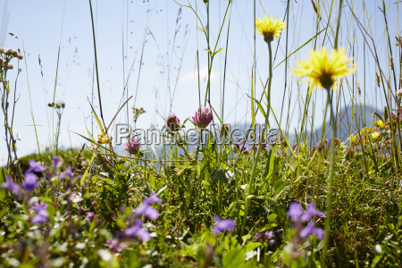 flower field in summer strobl salzburger