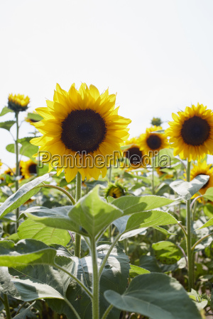 field of sunflowers in summer carinthia