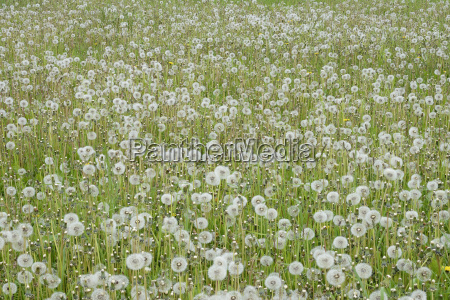 dandelion taraxacum officinale seed heads dandelion
