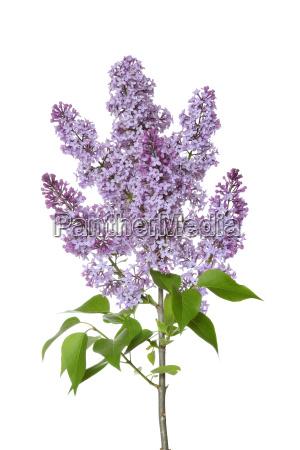 close up of purple lilac syringa