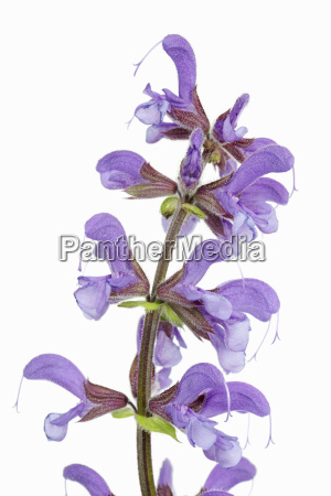 close up of meadow clary salvia