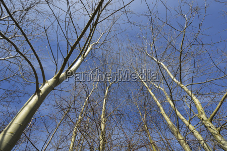 looking up at bare deciduous treetops