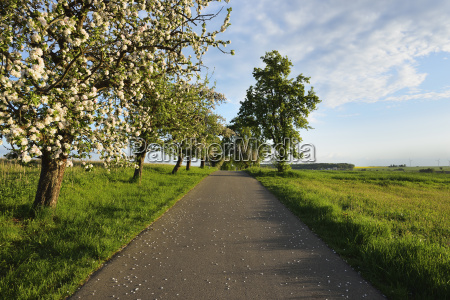 rural road with blossoming apple tree