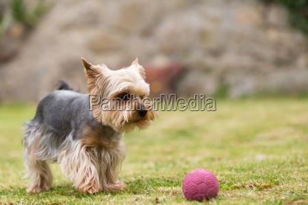 netter kleiner spielerischer yorkshire terrier