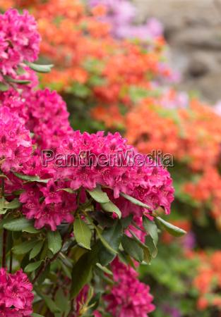 rosa azaleen blueten mit kleinen immergruenen