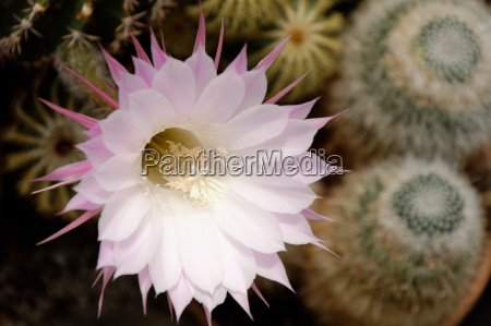 blooming cactus echinopsis sp with white