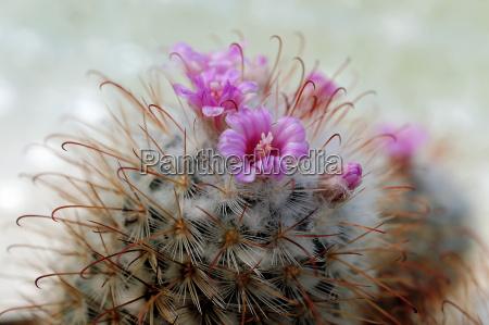 cactus with pink flowers mammilaria bombycina