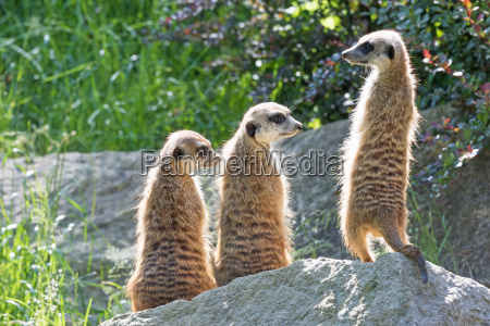 trinity of meerkats sitting on a
