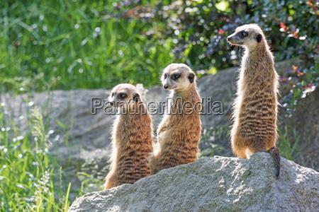 lovely trinity of meerkats