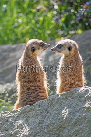 pair of meerkats is looking on