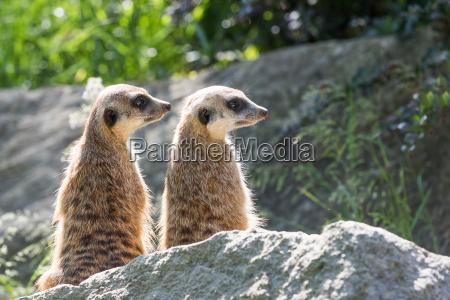 pair of meerkats is sitting on