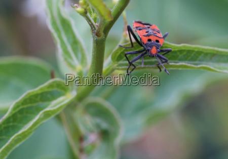 knight bug lygaeus equestris frontal