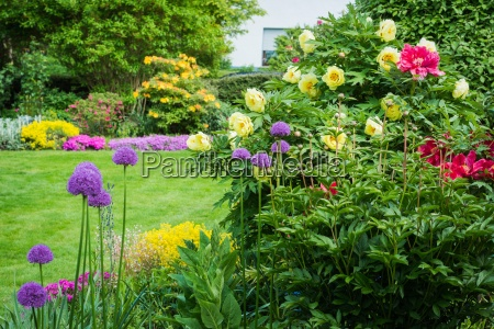 garden with peonies and allium