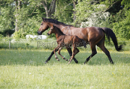 mare with foal on pasture