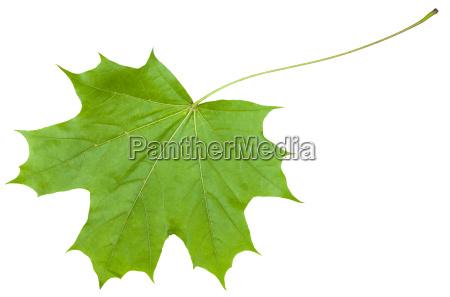 rueckseite des ahornbaums acer platanoides