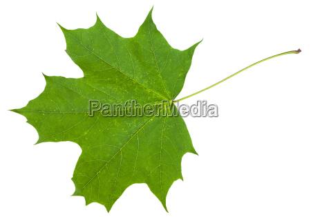 blatt ahornbaum acer platanoide isoliert