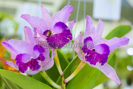 cattleya orchidee