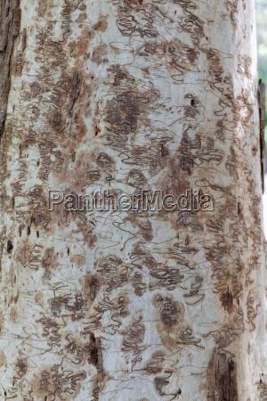 borkenkaefer muster an eukalyptusbaum
