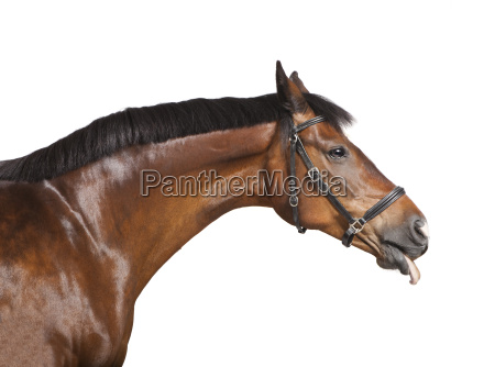 pferd streckt die zunge raus