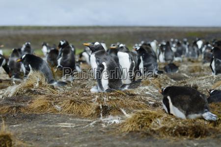 colony of gentoo penguins pygoscelis papua