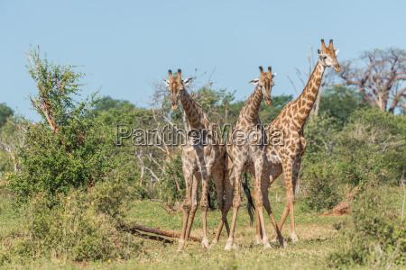 blau baum baeume kampf saeugetier afrika