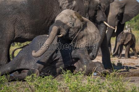 saeugetier afrika elefant stosszaehne tiere stosszahn